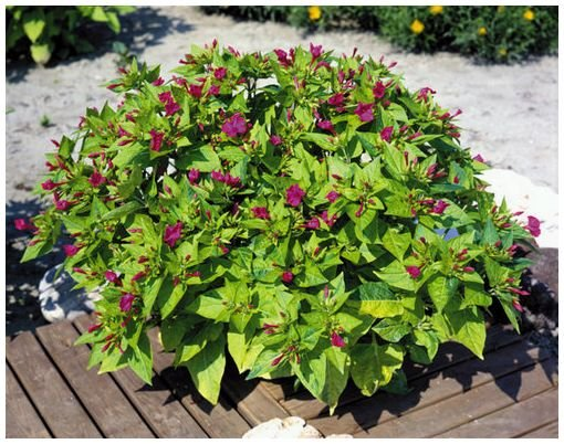 ORANGE-HONEY PERFUMED Mirabilis 'Limelight' ANNUAL Seed