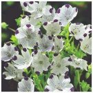 LIKE CARPET! Nemophila 'FIVE SPOT' Annual Seed