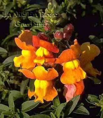 SNAPDRAGON 'Frosted Sunset' Wonderful ANNUAL Dwarf SEED