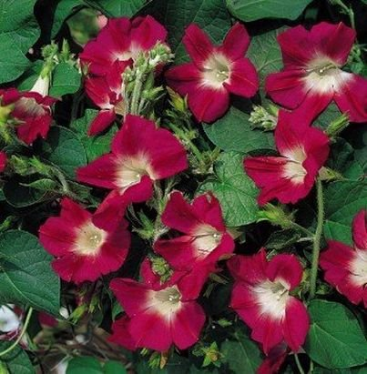 DEEP ROSE Annual Vine Morning Glory 'SPLIT PERSONALITY'