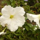 PETUNIA 'White Madness' ANNUAL Seeds STUNNING COLOR