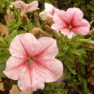 PETUNIA 'Peach Madness' ANNUAL Seeds STUNNING COLOR