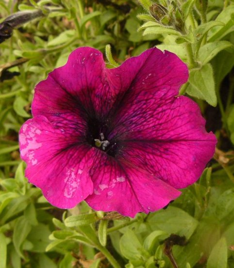 PETUNIA 'Burgundy Madness' ANNUAL Seeds GREAT COLOR
