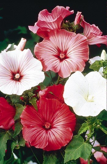 HIBISCUS-LIKE BLOOMS Lavatera BEAUTY MIX Annual SEEDS