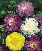 MARVELOUS Annual CENTAUEREA Sweet Sultan MIX Seeds