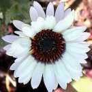 ZULU PRINCE Stunning White Venidium ANNUAL Seeds