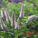 EXCELLENT FOR CUTTING Celosia Flamingo Feather ANNUAL