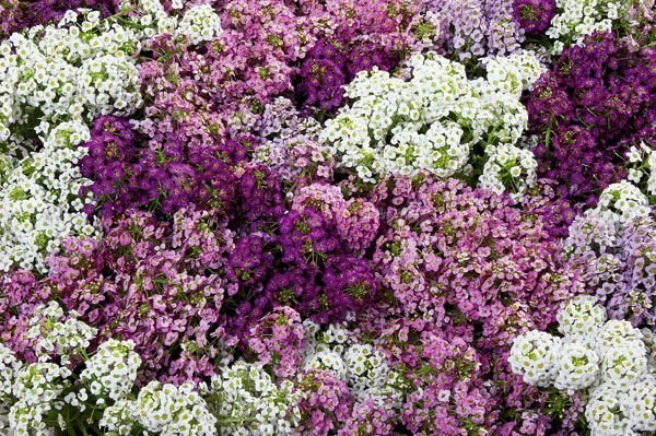 EARLIER BLOOMING Alyssum Wonderland Mix ANNUAL Seeds