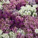 EARLIER BLOOMING Alyssum Wonderland Mix ANNUAL Seeds