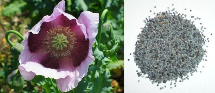 PERSIAN BLUE Poppy PAPAVER Annual SEEDS