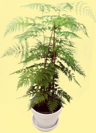 EXCELLENT HOUSE PLANT Silk Oak Tree SEEDS Annual