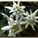For The Rock Garden EDELWEISS 8in tall Perennial SEEDS