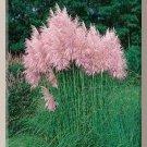 Pink Cortaderia PAMPAS GRASS 10ft TALL Perennial SEEDS