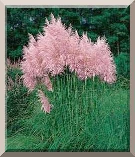 Pink Cortaderia PAMPAS GRASS 10ft TALL Perennial SEEDS
