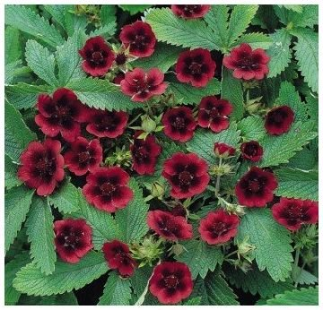 PERENNIAL 'Monarch's Velvet' SeedPOTENTILLA Long-Lived