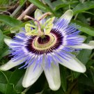 TENDER PERENNIAL Vine BLUE PASSION FLOWER Seeds