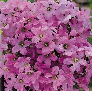 THE FIRST Pink Dwarf CAMPANULA Perennial SEEDS