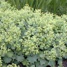A. mollis LADY'S MANTLE Thriller PERENNIAL Seeds
