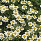 TANACETUM 'Jackpot' ~Mass of White Blooms ~ PERENNIAL