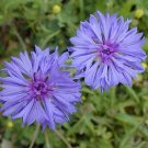 COMPACT PLANTS Bachelor's Buttons 'JUBILEE GEM' Seeds ANNUAL
