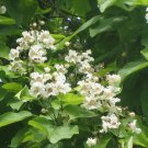 NORTHERN CATALPA Fast Growing Shade TREE Seeds