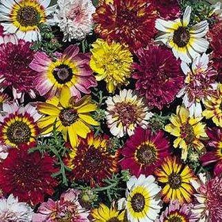 EXTRA LARGE SINGLE BLOOMS Chrysanthemum MIXED Seeds
