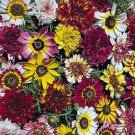 EXTRA LARGE SINGLE BLOOMS Chrysanthemum MIXED Seeds