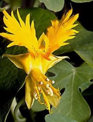 VIGOROUS Canary Creeper GREAT FOR ARBOUR Vine Seeds
