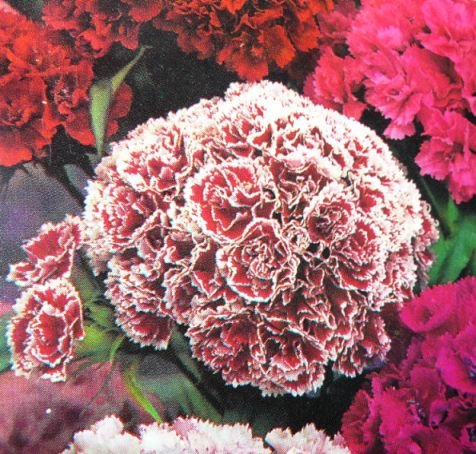 SUPER DOUBLE Mixed Seeds SWEET WILLIAM Biennial