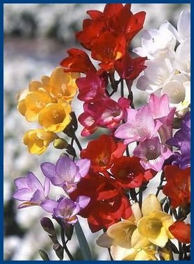 EXTRA LGE BLOOMS Freesia 'Olympiade Mix' Seeds ANNUAL
