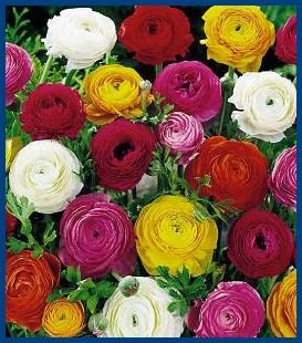MOUTH-WATERING SHADES Dwarf Ranunculus SEEDS