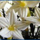 HUMMINGBIRD FAVORITE Cypress Vine ANNUAL Seeds