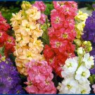 Extremely Fragrant DWARF STOCKS 'Ten Weeks Mixed' Seed