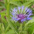 Centaurea montana MOUNTAIN BLUET Perennial SEEDS