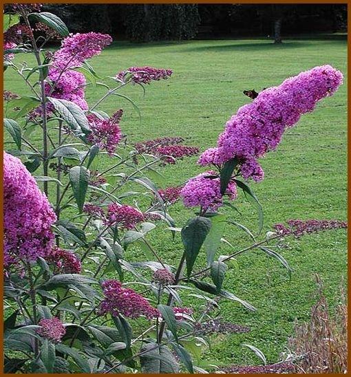 BUTTERFLY MAGNET Violet Butterfly Bush BUDDLEYA Seeds