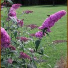 BUTTERFLY MAGNET Violet Butterfly Bush BUDDLEYA Seeds