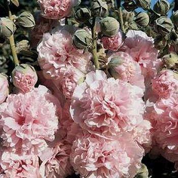 HOLLYHOCK Alcea rosea APPLEBLOSSOM First Year Flowering