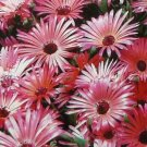 IDEAL FOR CONTAINERS Annual MESEMBRYANTHEMUM Gelato Red