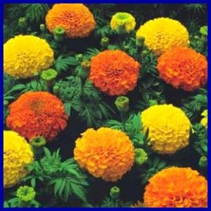LARGE AFRICAN TYPE Marigold 'Crackerjack' ANNUAL Seed
