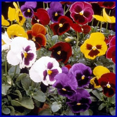 Strong and Compact SWISS GIANT Annual Choice Mix PANSY