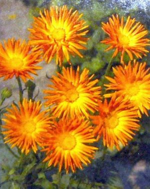 HEIRLOOM Quilled Petals Calendula 'RADIO' Annual SEEDS