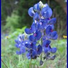EASY Dwarf Lupins 'Texas Bluebonnet' SEEDS Annual