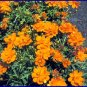 DWARF for BORDER Cosmo 'Cosmic Orange' SEED Annual