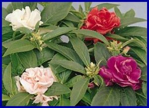 COMPACT 'Topknot Mixed' IMPROVED Balsam Annual SEEDS