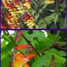 Hummingbird Magnet! SPANISH FLAG Mina Lobata VINE Seeds