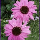 Lavender-Pink RUDBECKIA 'Bright Star' SEEDS Perennial