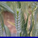 LONG & WHISPY Annual Ornamental Wheat BLACK TIP SEEDS