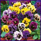 FRIZZLE SIZZLE Pansy 3inch BLOOMS! Annual Seeds