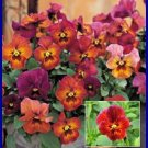 NATURE SERIES Pansy 'Mulberry Shades' ANNUAL Seeds