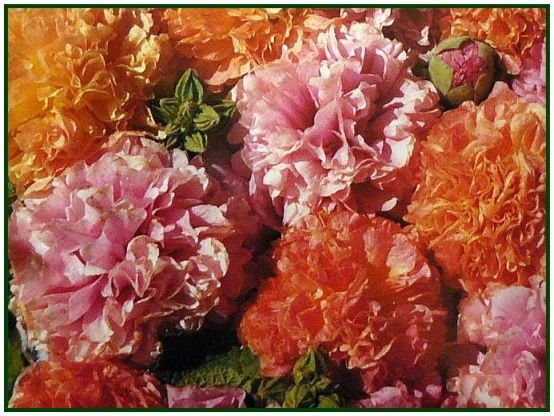 First Year Flowering FRUITY MIX Hollyhock ANNUAL SEEDS